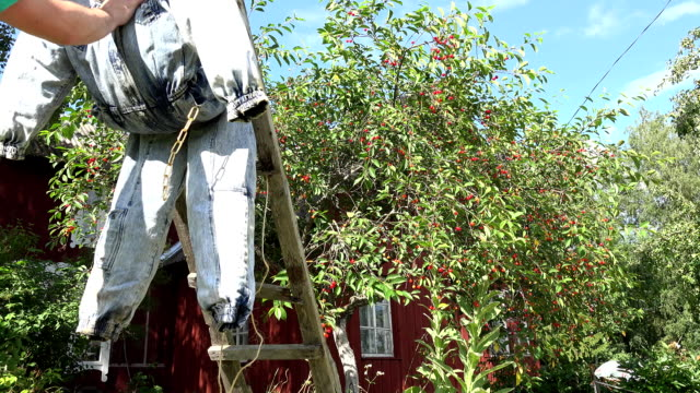 gardener man guy stand scarecrow on cherry tree to protect berries. FullHD video