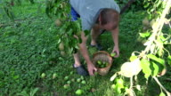 Gardener man picking windfall pears to wicker basket under fruiter tree.  FullHD video