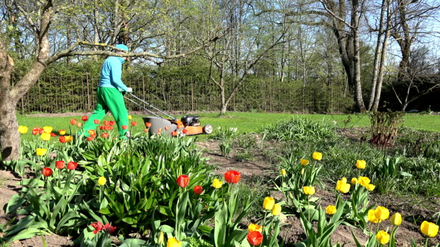 Gardener mow lawn with orange cutter. colorful tulip flowers video