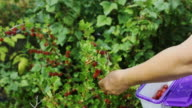 Gardener Picking Berries video