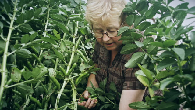 Gardener Picking Broad Beans video