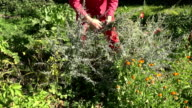 Gardener picking medical absinth wormwood video