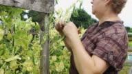 Gardener Picking Peas video