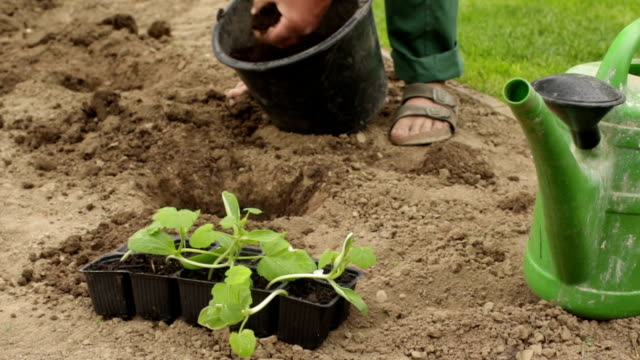 Gardener preparing a seedbed for planting a vegetable video