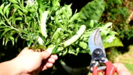 Gardener show branch of tree, Pruning shears and Green caterpillar video