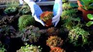 Gardener shows different bushes in gardenhouse FullHD video