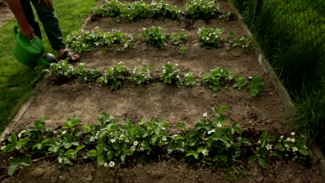 Gardener watering a small field of strawberries video