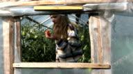 Gardener woman girl find ripe tomato vegetable fruit in rural greenhouse video