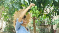 gardener woman picking up a fresh mango from tree video