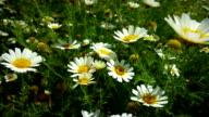 Garland chrysanthemum video
