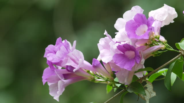 Garlic Vine flowers and wind video