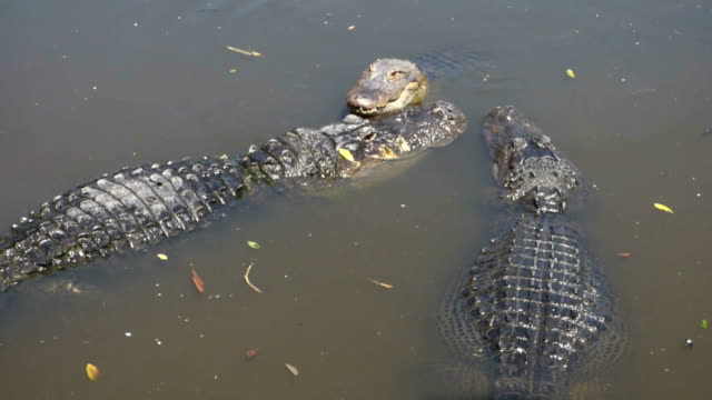 Gator Growling video