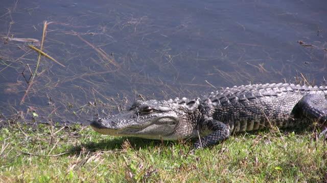 Gator Opens Eye video