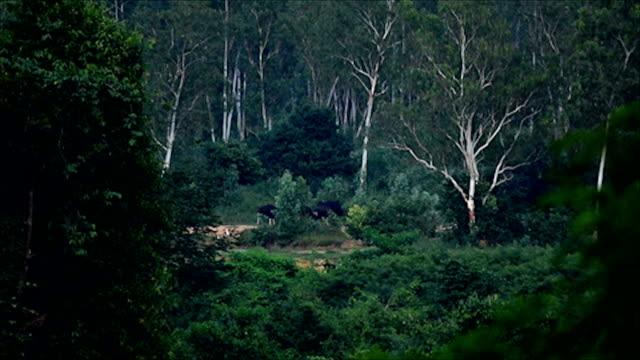 Gaur (Bos gaurus) and Banteng (Bos javanicus), Thailand video