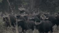 Gaur (Bos gaurus laosiensis) video