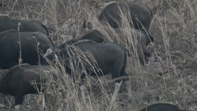 Gaur (Bos gaurus laosiensis) video