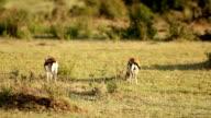 Gazelle Fight video