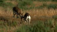 Gazelle Goitered video