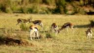 Gazelles Grazing video