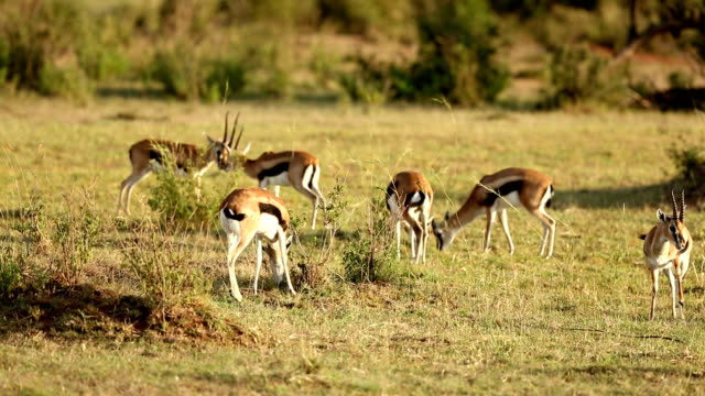 Gazelles Grazing video