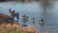 Geese - Alone at Last HD 1080 video