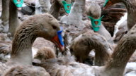 Geese on a poultry farm video