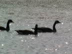 Geese Swimming video
