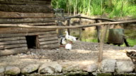 Geese. video