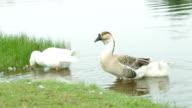 Geese water birds feeding video