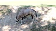 Gemsbok antelope (Oryx gazella) on green meadow HD video
