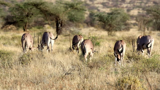 Gemsbok antelope video