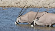 Gemsbok antelopes drinking water video