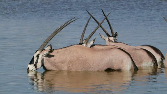 Gemsbok antelopes (Oryx gazella) wading in water video