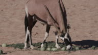 4K Gemsbok/Oryx feeding on wild tsamma melons, an important source of moisture in times of drought video