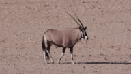 4K Gemsbok/Oryx walking across the arid plains of the Namib desert video