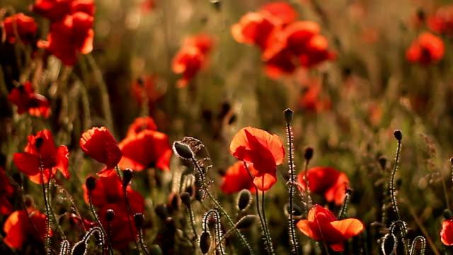 Gentle poppies sway in wind in field video