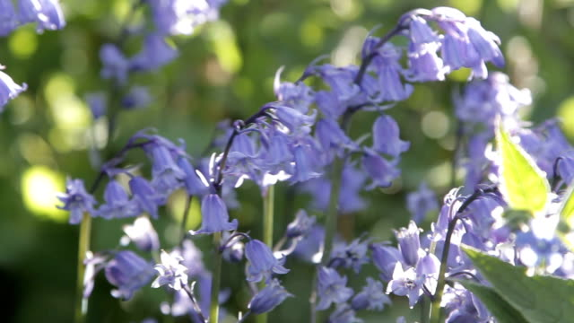 Gentle swaying bluebell flowers blowing in the wind video