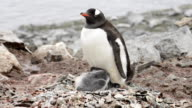 Gentoo Penguin with chicks on the nest video