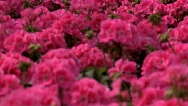 geranium video
