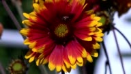 gerbera flower with insects video