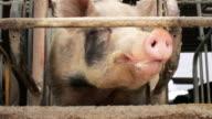 German pig video