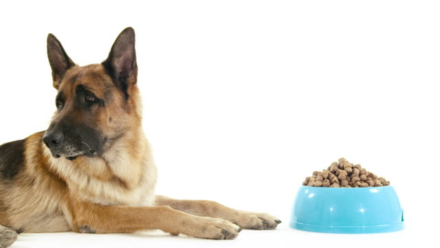 German shepherd dog on white background, pet with food bowl video