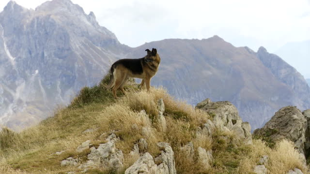 German Shepherd Dog Watching High Mountains video