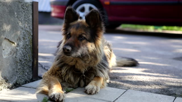 German shepherd guarding the yard. The dog rests in the shade. video