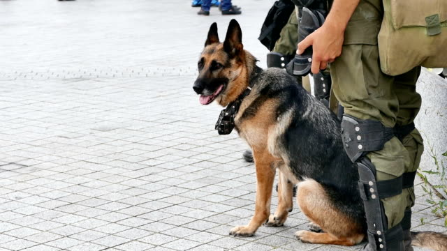 German Shepherd with the military provides security on the site of public events. Closeup video