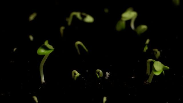 Germinating Cucumber Seeds video