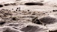 Ghostcrab crawling on La Digue Island // Seychelles HQ video