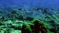 giant barracuda video