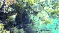 Giant black moray eel underwater video