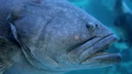 giant grouper fish underwater video